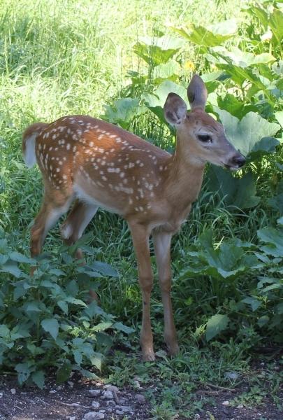 fawn-2012-st-ignace-deer-ranch