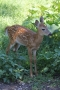 fawn-2012-st-ignace-deer-ranch