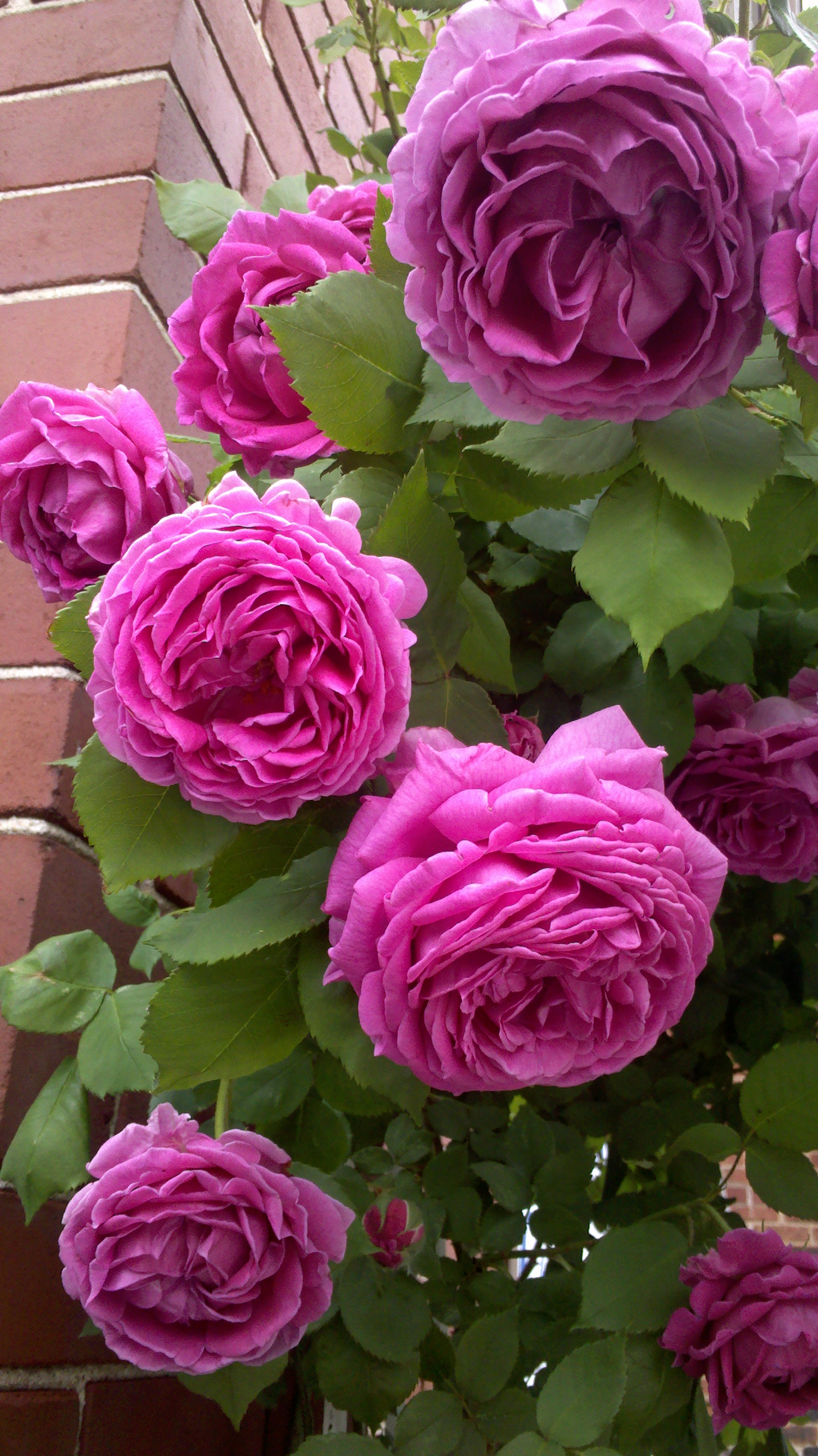 Roses In Garden: The Rose Garden