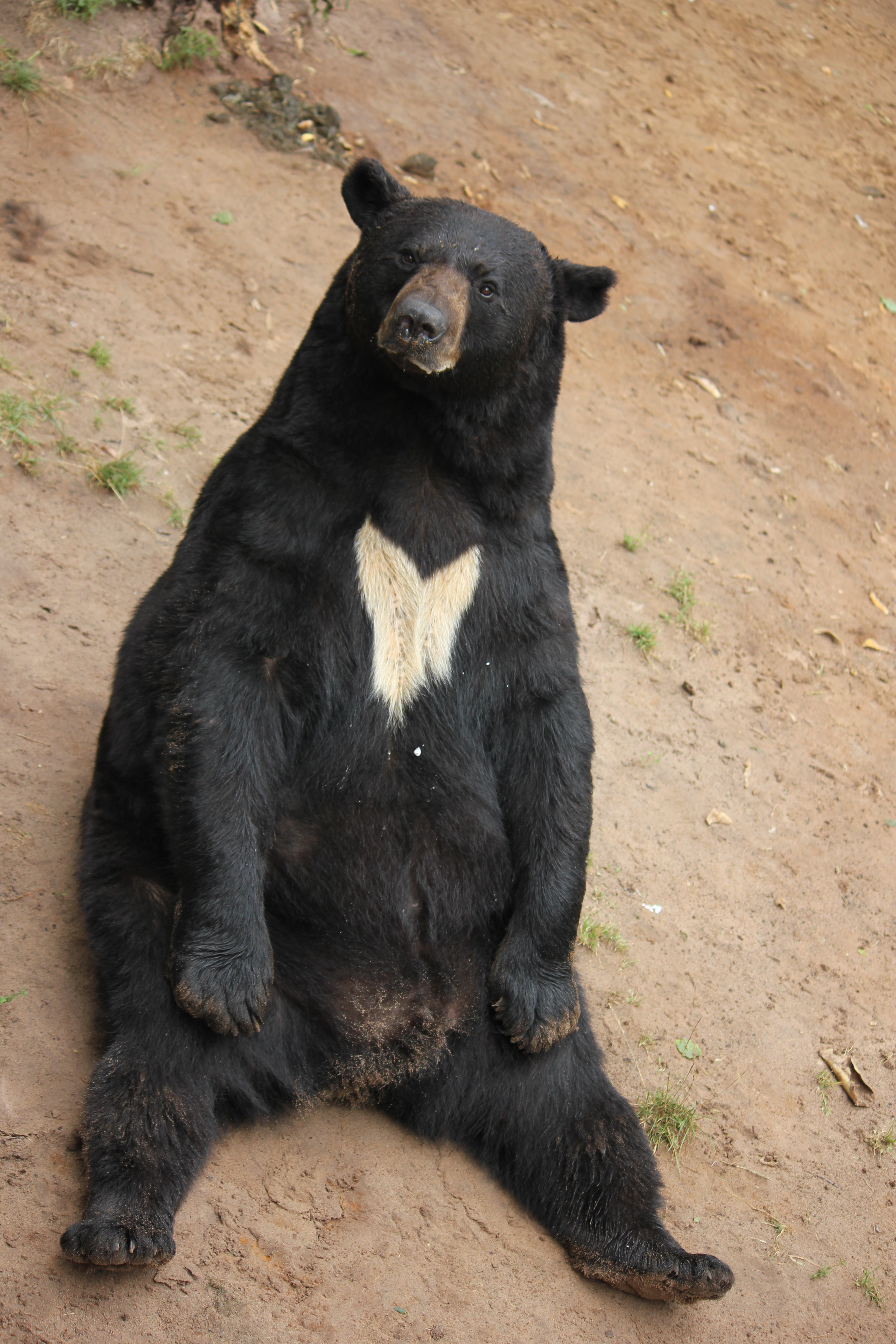 It is surprisingly difficult to get bears to smile, so I finally caught this Black Bear acting majestic..