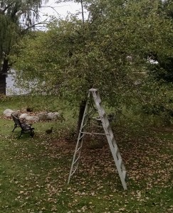 Ladder & Empty Apple Tree